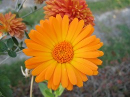 A brightly colored marigold in flower this colorful flower is simple to grow.