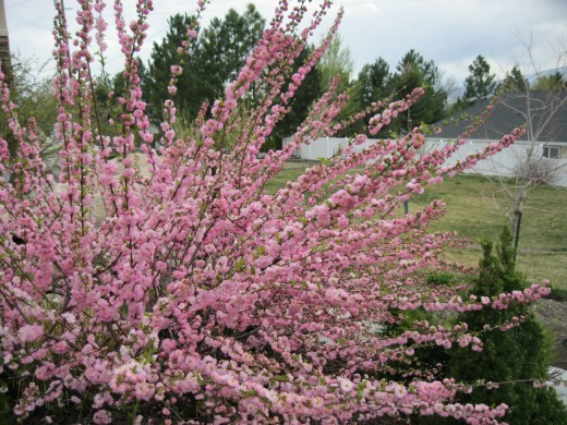 My Flowering Almond