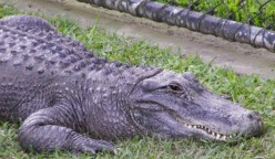 Which one is more aggressive an alligator or a crocodile?