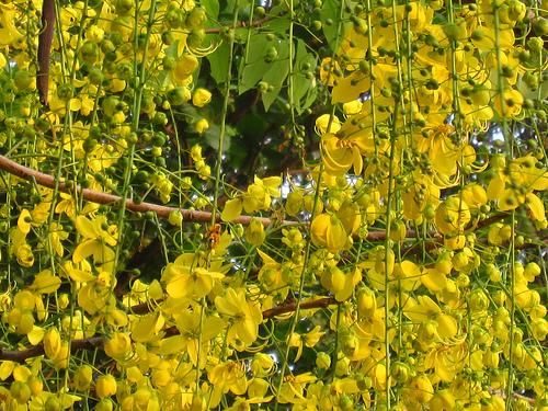 Vishukonna (Cassia Fistula)