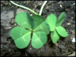 Sacred Four Leaf, Worldly Clover Symbol.