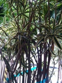 Caring for Dracaena Reflexa;  Song of India,  Jamaica, Pleomele
