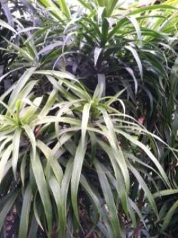 Longifolia Crown