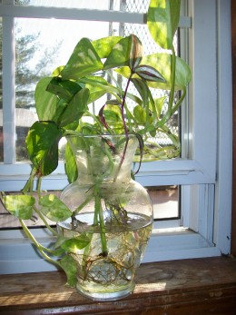 How to grow pothos devil 39 s ivy in water for Growing plants in water with fish
