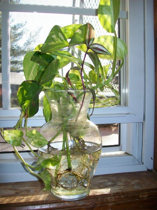 How to grow pothos devil 39 s ivy in water dengarden for Growing plants with fish