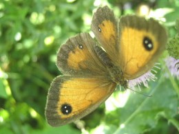 The hedge brown butterfly (also known as the Gatekeeper)  is a common sight in Britain's hedgerows