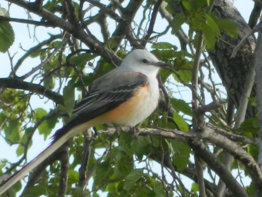 Scissor Tailed Flycatcher, State Bird of Oklahoma