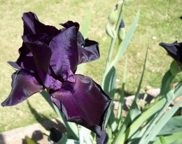 Curling Edges Unroll On This Second Black Iris