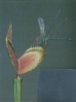 Flesh-Eating Plant --Venus Flytrap