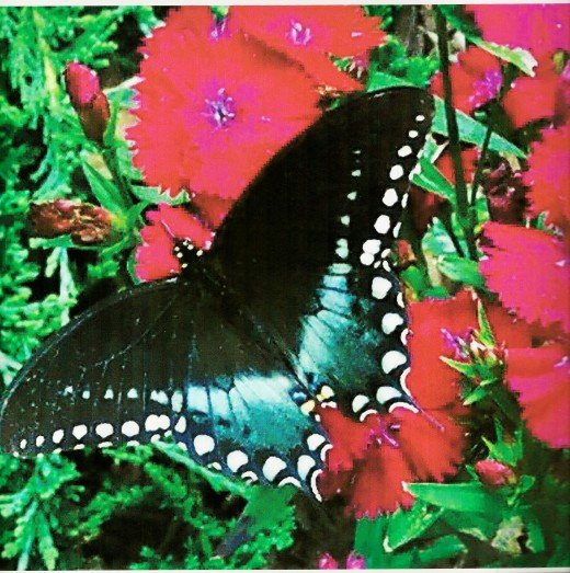 A beautiful butterfly on my flower garden!