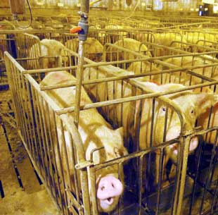 We can all agree that keeping animals like this is immoral. But is it unjust as well? And what of farming in general - are we acting justly if we breed an animal only to slaughter and eat it?