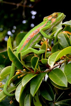 How does the Chameleon change color?