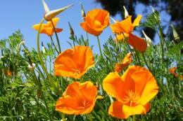 Poppies, Wynola