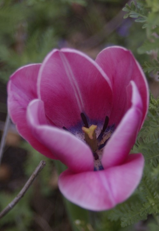Although lovely on the outside, the inside of this tulip is mysterious and wonderful.  A secret world.