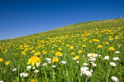 Forage for dandelions and benefit from their amazing vitamin A content