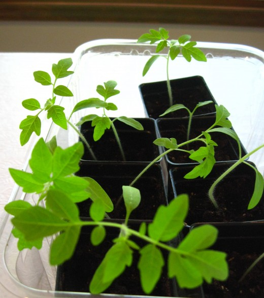 Tomato plants few weeks after germination