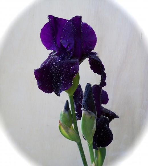 Day 3, Early Evening, Black Iris