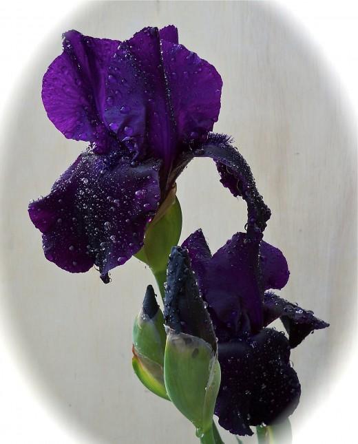 Straight On Black Iris