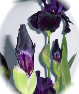Black Iris Bud Unfolding--Liking This Shadowing Better