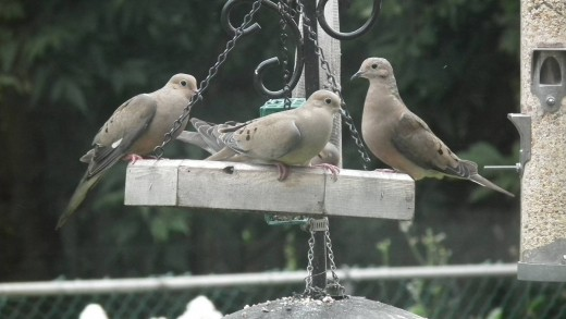 Mourning doves at the feeder