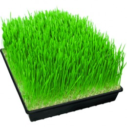 wheat grass 7 days old.