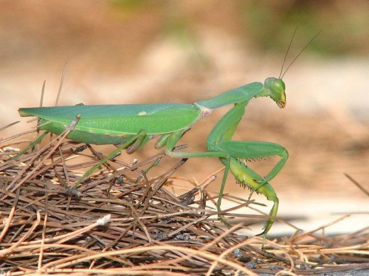 Preying Mantis will eat huge amounts of bugs.