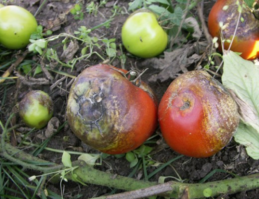 Tomato blight attacks the leaves as well as both green and ripe tomatoes.