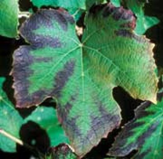 Leaf with potassium deficiency