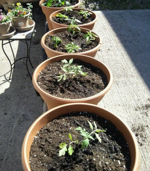 potted garden of tomatoes and peppers