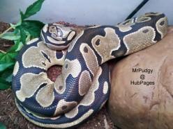 My ball python won't eat