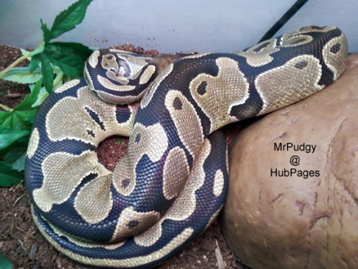 Jack the Ball Python - My picky eater with a chill attitude