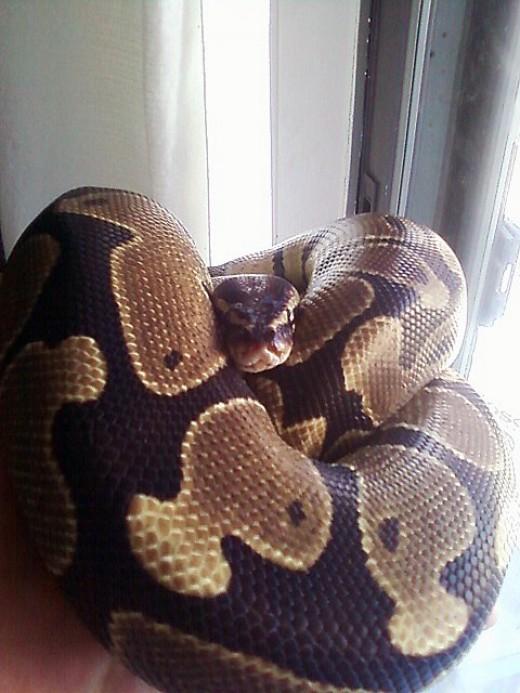 Jack the ball python