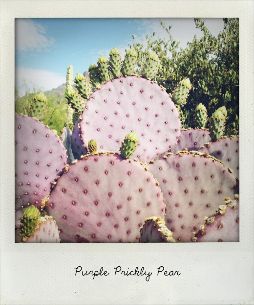 prickly pear cactus is edible and a good source of vitamin C and magnesium