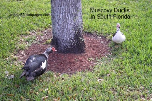 2 Muscovy ducks foraging around oak tree.