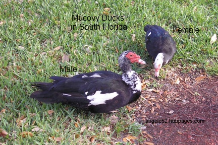 Male Muscovy duck with the red stuff around the eyes.