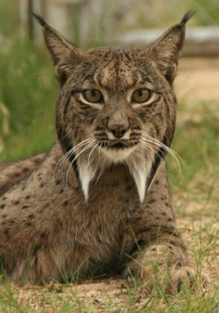 The Iberian Lynx wild cat from Spain and Portugal is an animal in danger