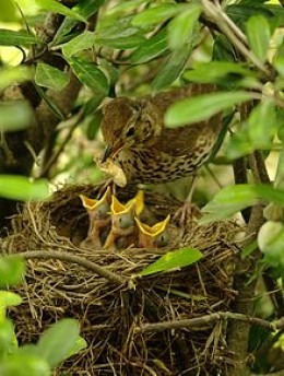 song thrush chicks being fed by their mother