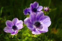 How to Grow Anemone Flowers