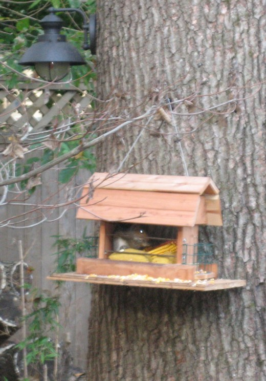 Hanging feeder - with squirrel inside monopolizing the corn.