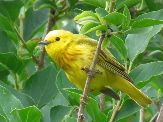 """Yellow """"They call me mellow"""" Warbler"""
