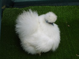 """Yes, they really are quite """"silkie""""!"""