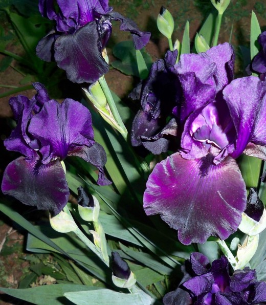 Blooms And Buds For Black Iris--Both Are Beautiful!