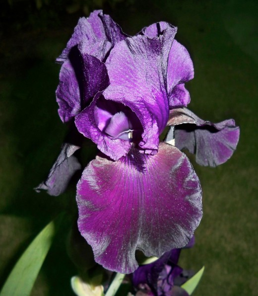 Stately Black Iris Commands Attention.