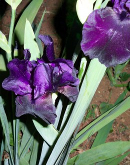 Another Black Iris Getting Ready To Drink In Morning Sun.