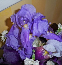 This Russian Iris has a distinct deep lavender color with the yellow stamen.
