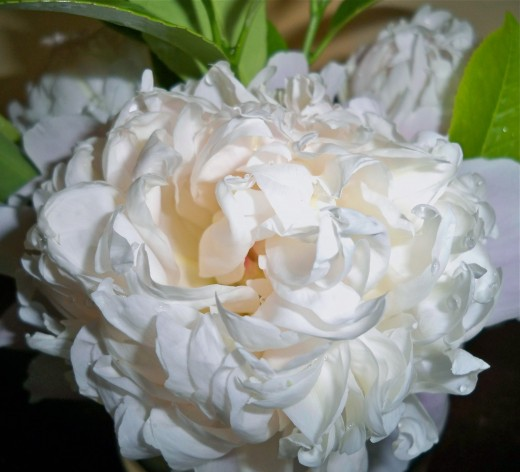 Nothing compares to a peony!