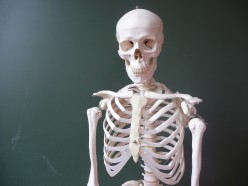 How many bones are there in the human skeleton?