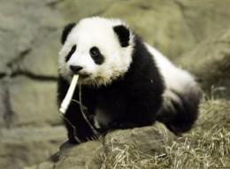 Panda cub with bamboo!