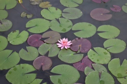 Since lily pads float on the surface of the pond, they may show you that you desire an emotional break. Lilies are often associated with mourning.  Water lilies may indicate feelings of sorrow and grief.