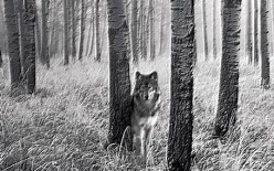 Has Your Dog Been Displaying Wolf Like Behavior